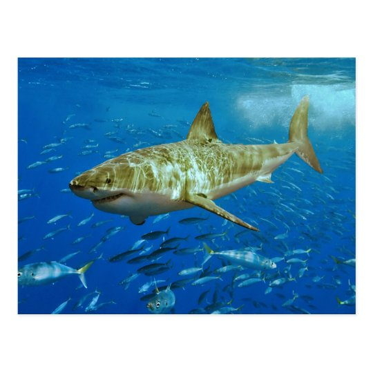 The Great White Shark Carcharodon Carcharias Postcard