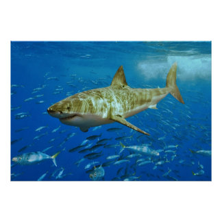 The Great White Shark Carcharodon Carcharias Poster