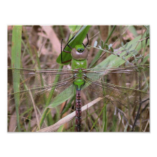 The Green Dragonfly Rests Poster