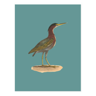 The Green Heron, or Poke (Ardea virescens) Postcard
