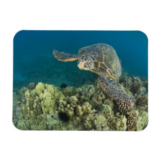 The Green Sea Turtle, (Chelonia mydas), is the 2 Rectangular Photo Magnet