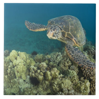 The Green Sea Turtle, (Chelonia mydas), is the 2 Large Square Tile