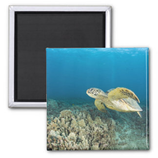 The Green Sea Turtle, (Chelonia mydas), is the 3 2 Inch Square Magnet