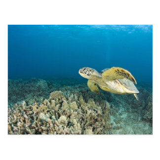 The Green Sea Turtle, (Chelonia mydas), is the 3 Postcard