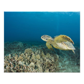 The Green Sea Turtle, (Chelonia mydas), is the 3 Posters