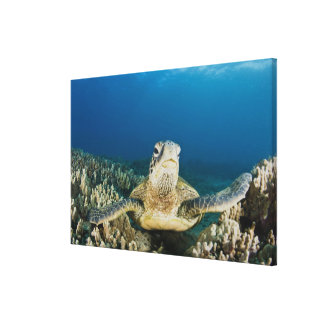 The Green Sea Turtle, (Chelonia mydas), is the Canvas Print