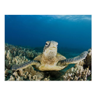 The Green Sea Turtle, (Chelonia mydas), is the Postcard