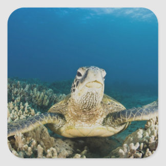 The Green Sea Turtle, (Chelonia mydas), is the Square Sticker
