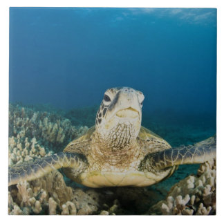 The Green Sea Turtle, (Chelonia mydas), is the Tile