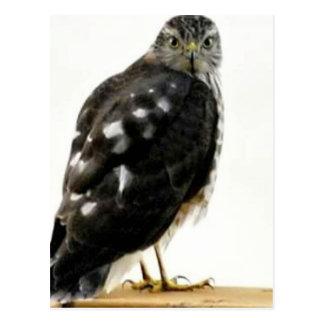 The Hawk Postcard