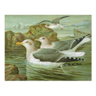 The Herring Gull Postcard