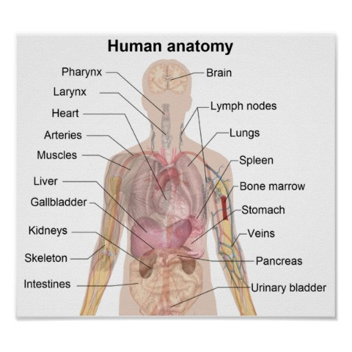 The Human Anatomy Posters