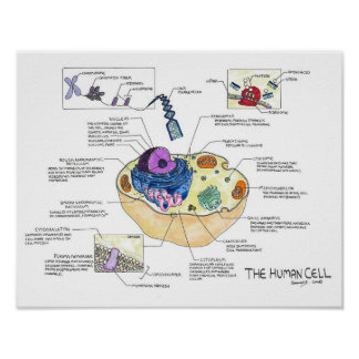 The Human Cell Poster