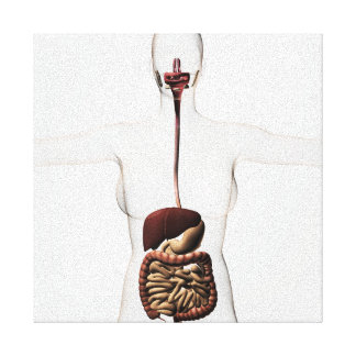 The Human Digestive System 2 Canvas Print