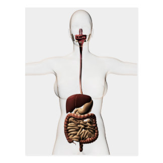 The Human Digestive System 2 Postcard
