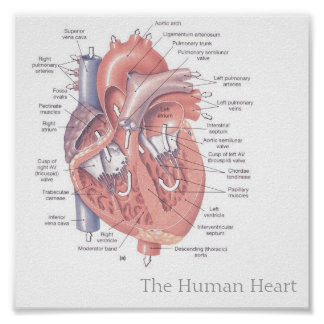 human heart posters | zazzle, Muscles