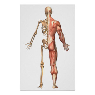 The Human Skeleton And Muscular System, Back Poster