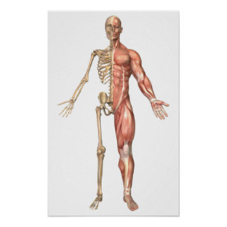 The Human Skeleton And Muscular System, Front Print