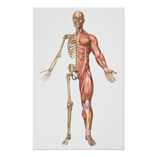 The Human Skeleton And Muscular System, Front Poster ...