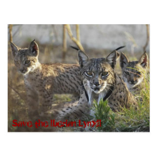 The Iberian Lynx knows! 3 Postcard