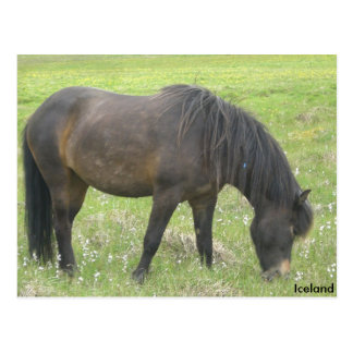 The Iceland horse Postcard