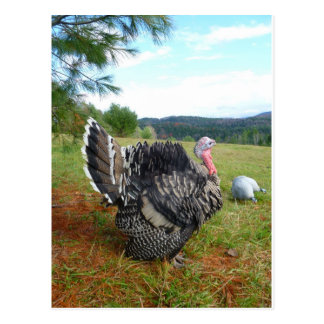The Incredible Turkeys Postcard