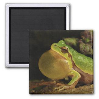 The Italian Tree Frog Hyla Intermedia 2 Inch Square Magnet