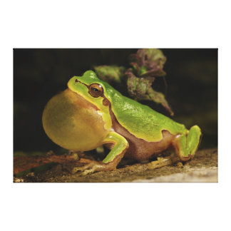 The Italian Tree Frog Hyla Intermedia Canvas Print