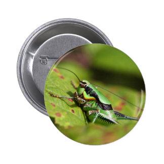 The katydid cricket Eupholidoptera chabrieri Button