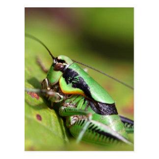 The katydid cricket Eupholidoptera chabrieri Postcard
