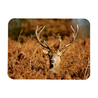 The King's Deer, red deer stags 1 Magnet