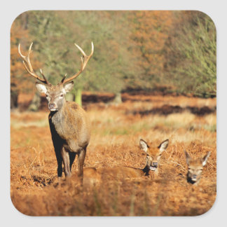 The King's Deer, red deer stags 2 Square Sticker