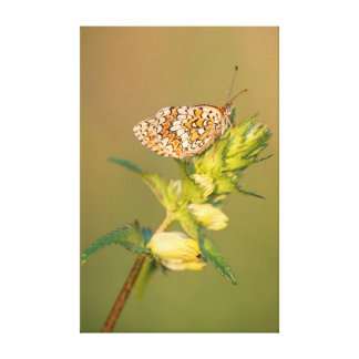 The Knapweed Fritillary butterfly Canvas Print