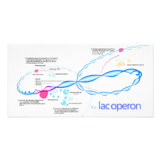 The Lac Operon Diagram Card