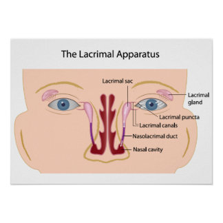 The lacrimal gland Poster