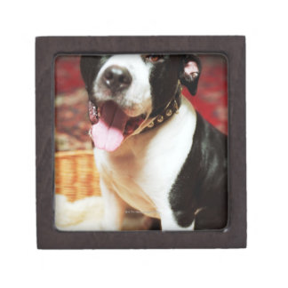 The latin name for all domestic dogs is Canis Gift Box