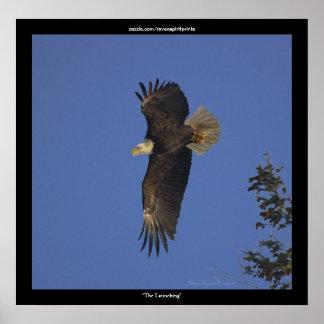 """THE LAUNCHING""  Bald Eagle Wildlife Print"