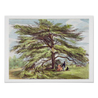 The Lebanon Cedar Tree in the Arboretum, Kew Garde Poster