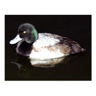 The Lesser Scaup In The Still Of The Night Postcard