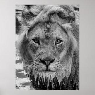 The Lion's Stare Print