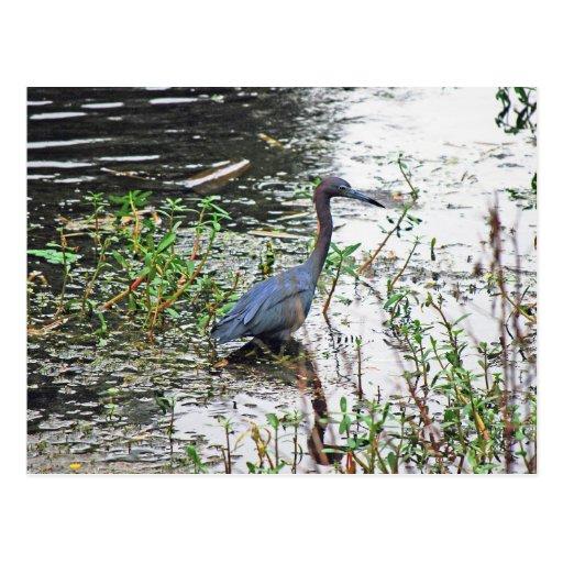 The Little Blue Heron... Postcard
