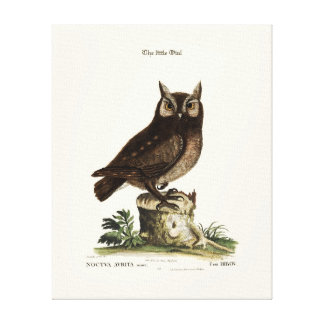 The little Owl - Catesby Canvas Print