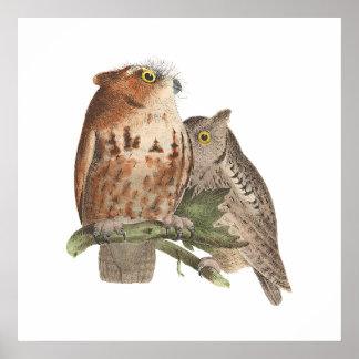 The Little Screech Owl(Bubo asio) Poster