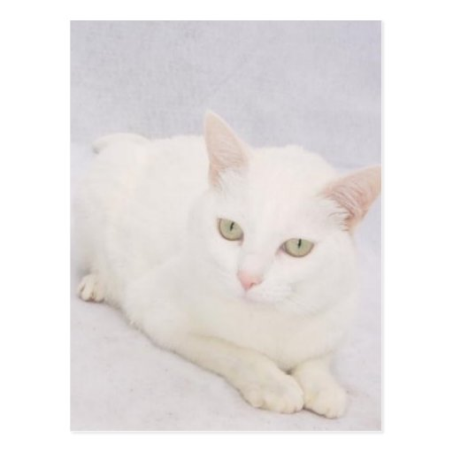 The Little White Cat Post Cards