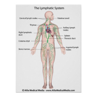 The lymphatic system labeled Poster