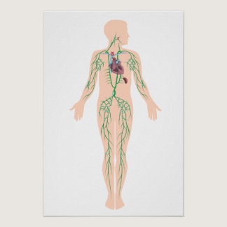 The lymphatic system  Poster