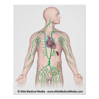 The lymphatic system thoracic unlabeled Poster