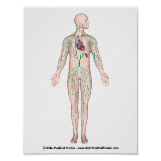 The lymphatic system unlabeled Poster