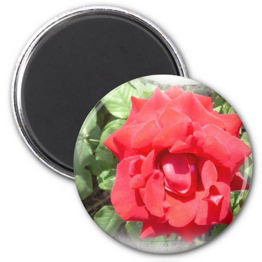 The Magic Red Rose Refrigerator Magnet
