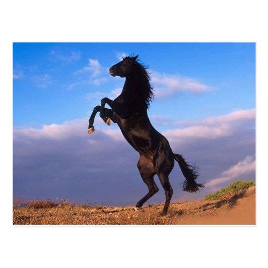 The majestic black stallion postcard